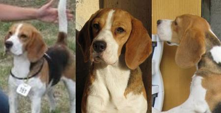 Allevamento Beagle Palermo Sicilia Italia Beaglepalermo